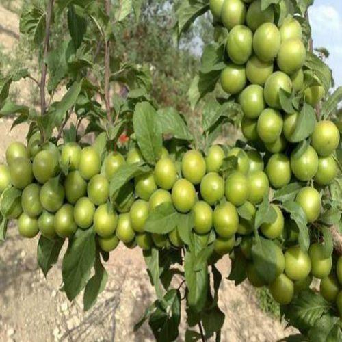 نهال گوجه